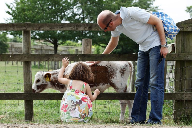Visitors looking at a calf on Wimpole Home Farm in Cambridgeshire.